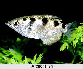 Archer Fish, Indian Marine Species