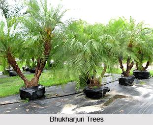 Bhukharjuri, Indian Medicinal Plant