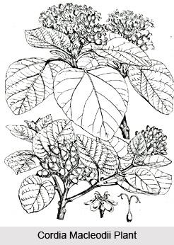Cordia macleodii, Indian Medicinal Plant