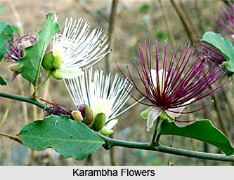 Karambha, Indian Medicinal Plant
