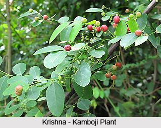 Krishna-Kamboji, Indian Medicinal Plant