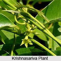 Krishnasariva, Indian Medicinal Plant