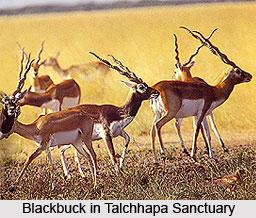 Talchhapar Sanctuary, Churu District, Rajasthan