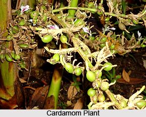 Greater Cardamom