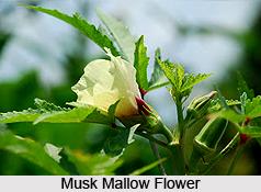 Musk Mallow