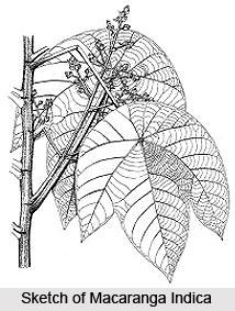 Macaranga Indica, Indian Medicinal Plant