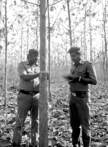 Indian Forest Service officers measure six-year-old teak trees in a plantation survey