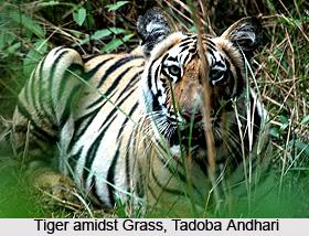 Tadoba National Park, Chandrapur, Maharashtra