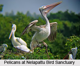 Nelapattu Bird Sanctuary, Nellore District, Andhra Pradesh
