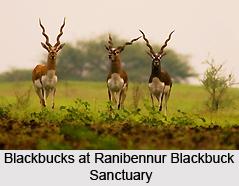 Ranibennur Blackbuck Sanctuary, Haveri District, Karnataka