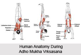 Adho Mukha Vrksasana