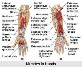 Impact of Yoga on Muscular System