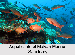 Malvan Marine Sanctuary, Sindhudurg District, Maharashtra