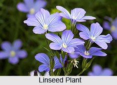 Linseed, Indian Medicinal Plant
