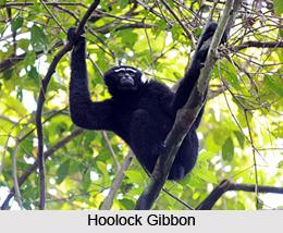 Hoollongapar Gibbon Sanctuary, Jorhat District, Assam