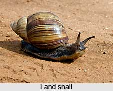 Types of Snail
