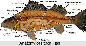 Perch, Indian Marine Species