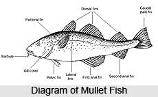 Mullets, Indian Marine Species