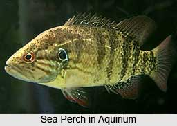 Sea Perches, Indian Marine Species
