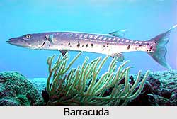 Barracuda, Indian Marine Species