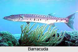 Barracuda, Indian Marine Species
