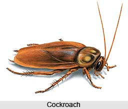 Cockroach, Insect