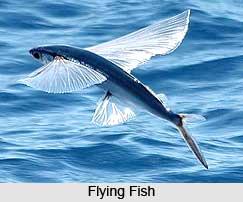 Flying Fish, Indian Marine Species