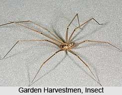 Garden Harvestmen, Insect