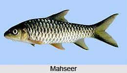 Mahseer, Indian Fish