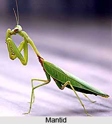 Mantid, Insect