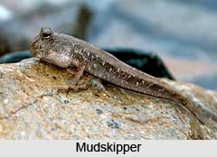 Mudskippers, Indian Marine Species
