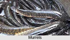 Murrels, Indian Marine Species