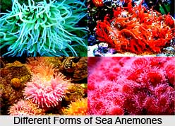 Sea Anemones, Indian Marine Species