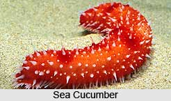 Sea Cucumbers, Indian Marine Species