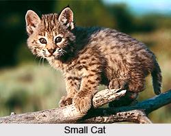 Small Cats, Wild Animals