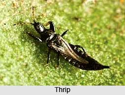 Thrip, Insect