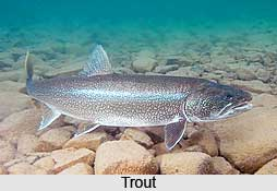 Trout, Indian Fish