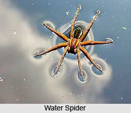 Water Spider, Indian Aquatic Species