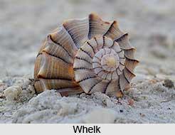 Whelk, Indian Marine Species