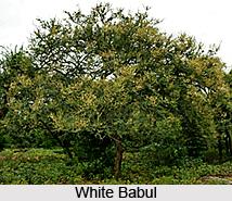 White Babul, Indian Medicinal Plant