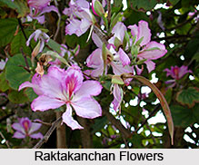 Orchid Tree, Raktakanchan