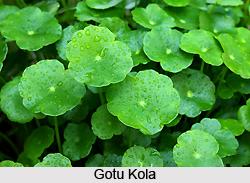 Gotu Kola, Indian Herb