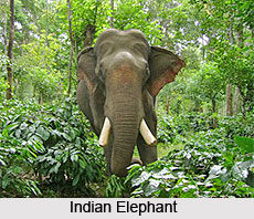 Elephant, Indian Animal