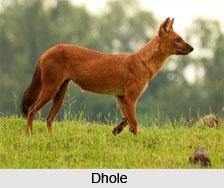 Dhole, Indian Wild Dog