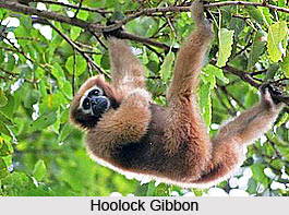 Hoolock Gibbon, Ape, Indian Animal