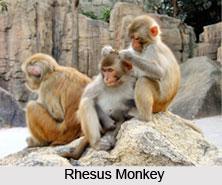 Macaque Monkey, Indian Animal