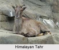 Himalayan Tahr, Indian Mammal