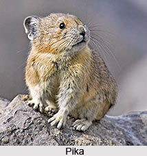 Pika, Indian Animal