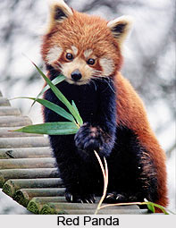 Red Panda, Indian Animal