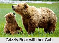 Bear, Indian Wild Animal